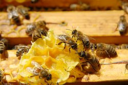 Bienensterben auch in Ostbelgien !